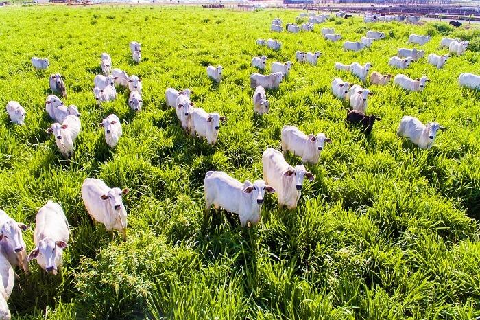 Brasilianske køer